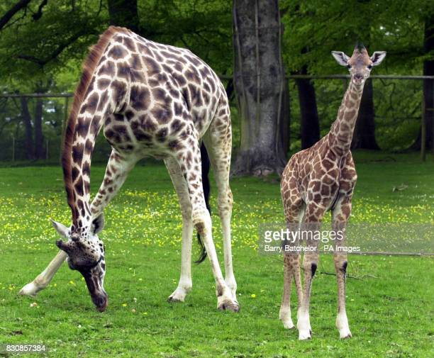 Shakula a Rothschild giraffe stands with her mother Jolly at Longleat Safari Park The six foot two inches baby born April 26 is the eighth calf to be...