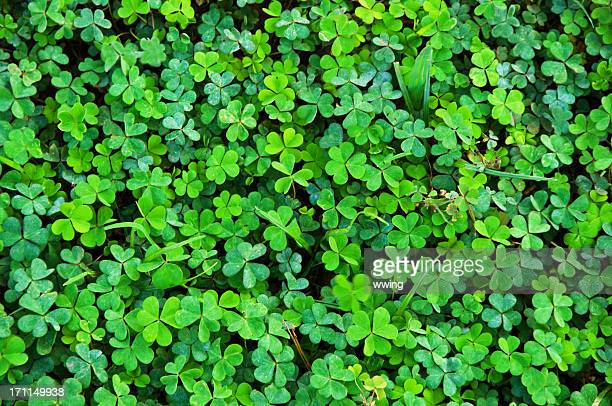 shamrock clover natural  background - clover stock photos and pictures