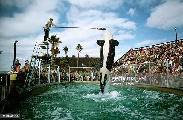 shamu the orca performs at seaworld - named animal ストックフォトと画像