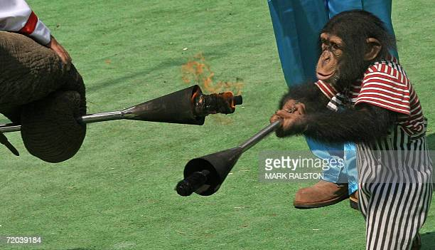 An elephant passes a torch symbolizing the Olympic flame to a chimpanzee during the 2006 Animal Olympics at the Shanghai Wild Animal Park, 28...