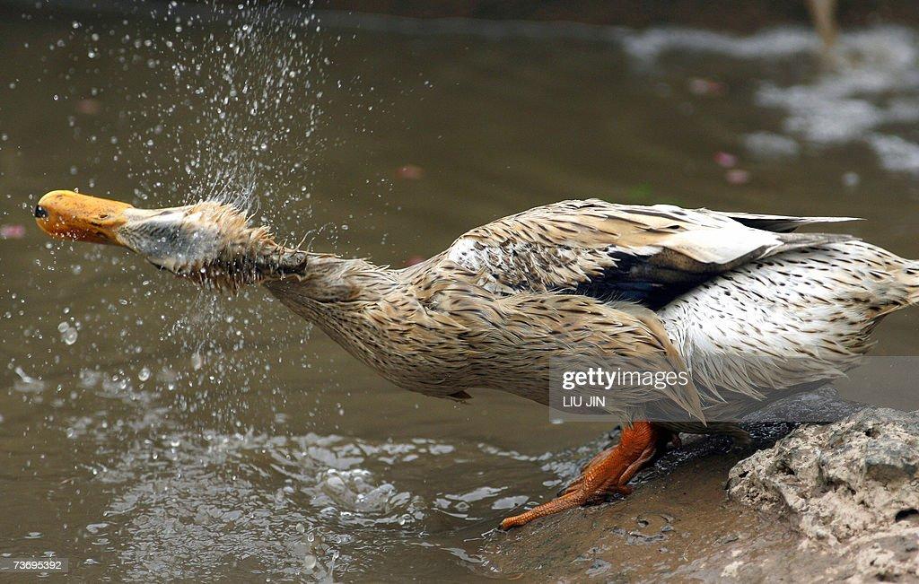 A duck has a bath in a pond at a farm house in the outskirts of ...