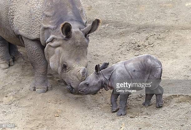 Shanti a 13yearold Indian rhinoceros nudges her newborn Suru at the San Diego Wild Animal Park in San Diego CA Shanti gave birth to Suru on December...