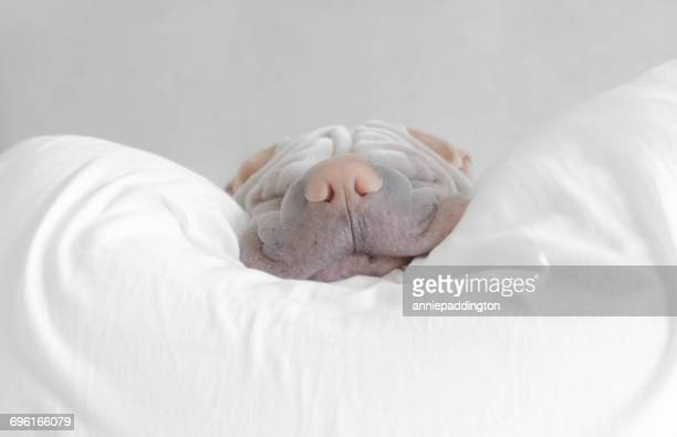 shar pei dg taking a nap - pillow stock pictures, royalty-free photos & images