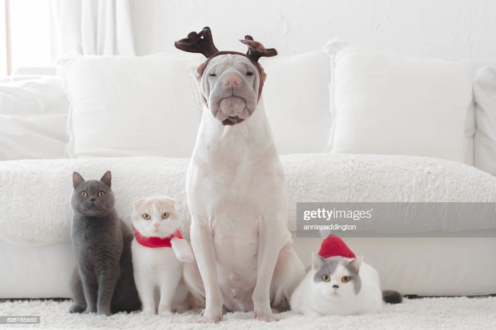 Shar pei dog and three cats dressed for Christmas : Stock Photo
