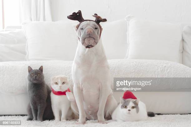 Shar pei dog and three cats dressed for Christmas