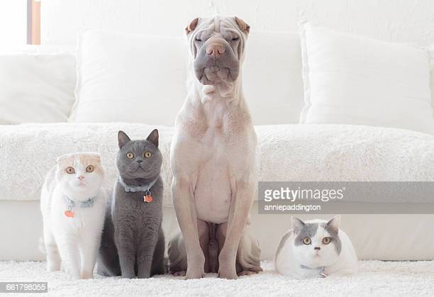 shar pei dog, british shorthair and scottish fold cats sitting in a row - dog and cat stock photos and pictures