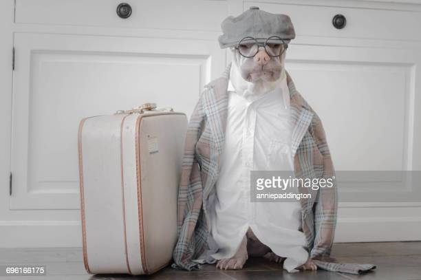 Shar pei dog dressed as old man with a suitcase
