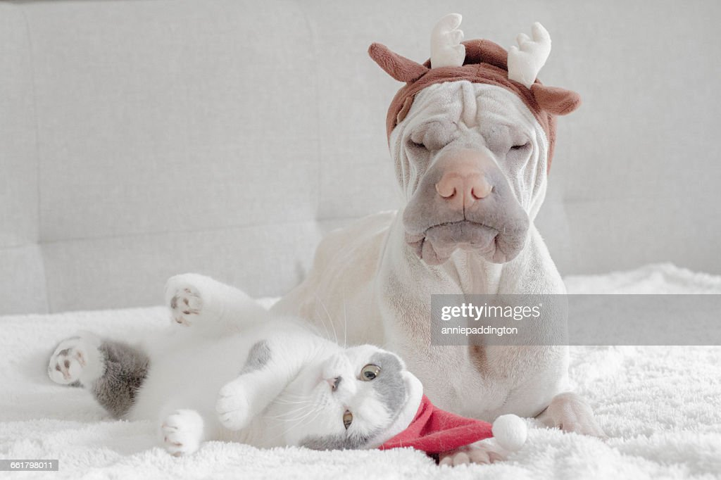 Shar pei dog dressed in antlers and british shorthair cat dressed in santa hat : Stock Photo