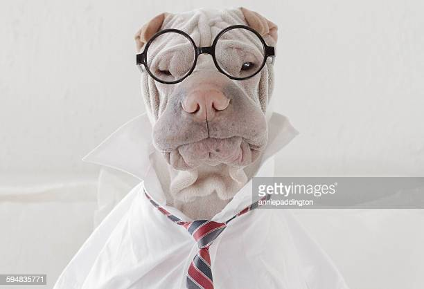Shar Pei dog dressed in glasses, a shirt and tie like a businessman