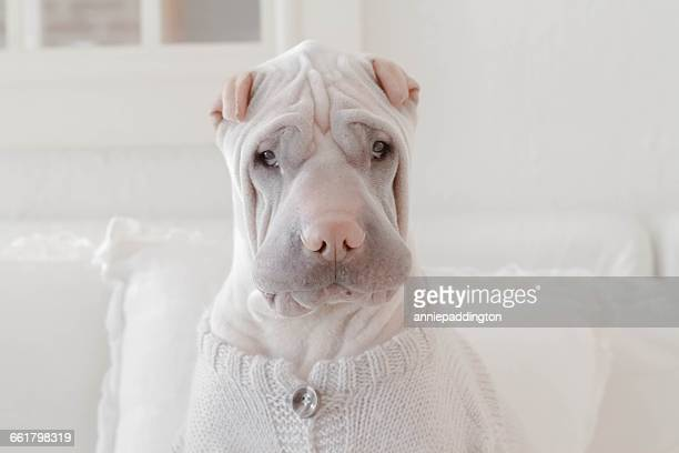 Shar Pei dog sitting on couch wearing sweater