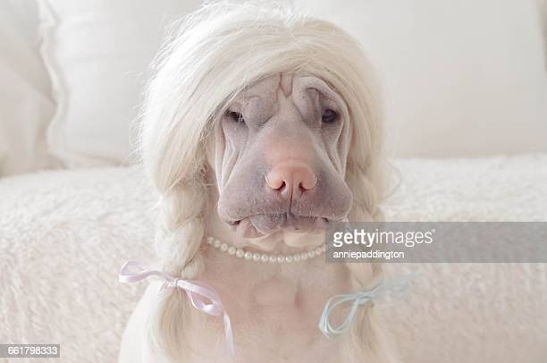shar pei dog wearing blonde wig - wig stock pictures, royalty-free photos & images
