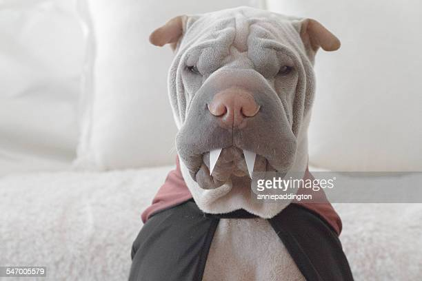 shar pei dog wearing dracula costume - count dracula stock photos and pictures