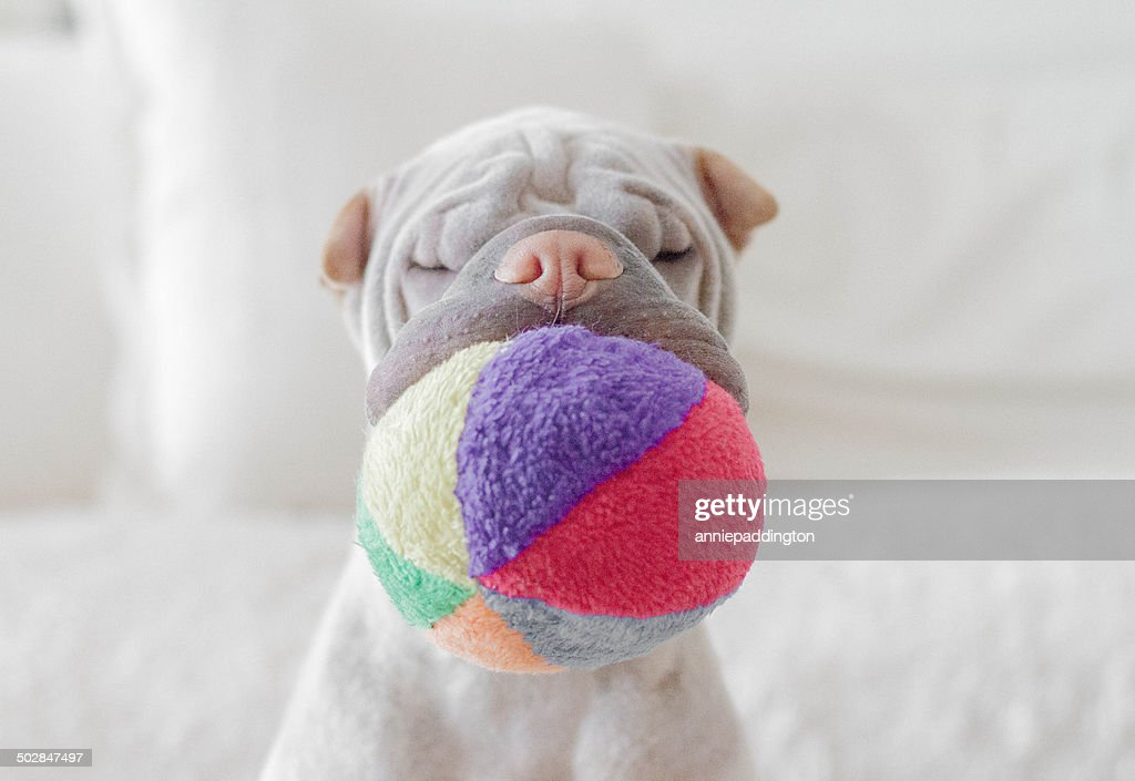Shar pei dog with soft ball in its mouth : Stock Photo