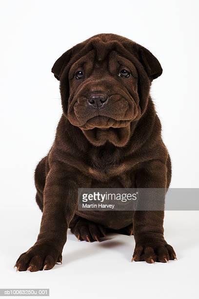 Shar Pei puppy looking at camera, studio shot