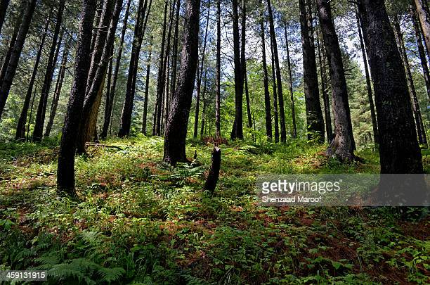 Sharan Forest, Kaghan Valley Love & Peace Look deep into nature, and then you will understand everything better. Albert Einstein