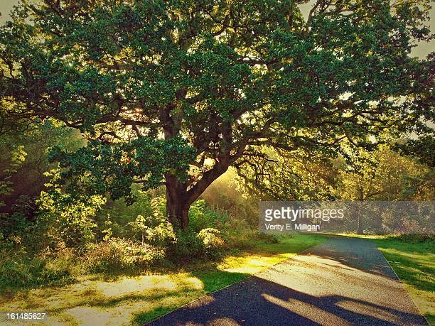 shards of morning light through oak tree - northamptonshire stock pictures, royalty-free photos & images