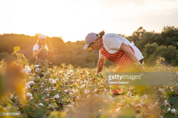 share the knowledge. cotton picking season. active seniors working with the younger generation in the blooming cotton field. two women agronomists evaluate the crop before harvest, under a golden sunset light. - cotton harvest stock pictures, royalty-free photos & images
