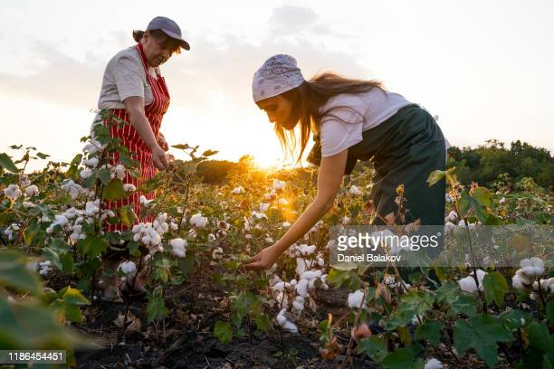 share the knowledge. cotton picking season. active seniors working with the younger generation in the blooming cotton field. two women agronomists evaluate the crop before harvest, under a golden sunset light. - cotton wool stock pictures, royalty-free photos & images