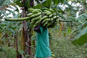 sharecropper charite almeus salvages bananas from