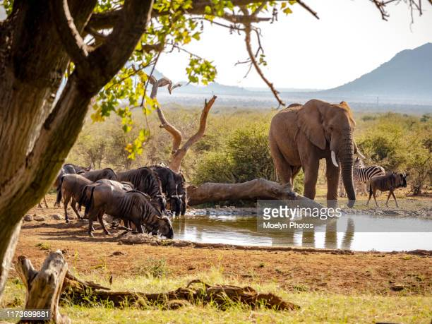 shared waterhole - waterhole stock pictures, royalty-free photos & images