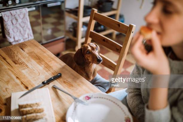 sharing her breakfast with dachshund dog - suplicar imagens e fotografias de stock