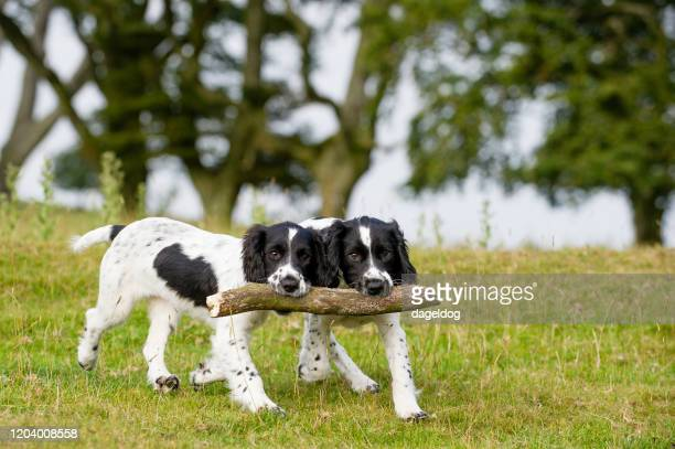 sharing the load - spaniel stock pictures, royalty-free photos & images