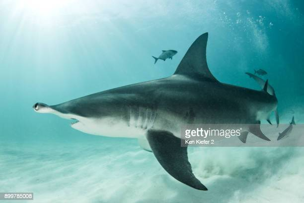shark and fish - bimini stock photos and pictures
