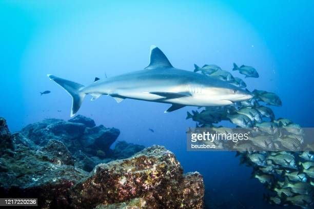 shark and school of fish - reef shark stock pictures, royalty-free photos & images