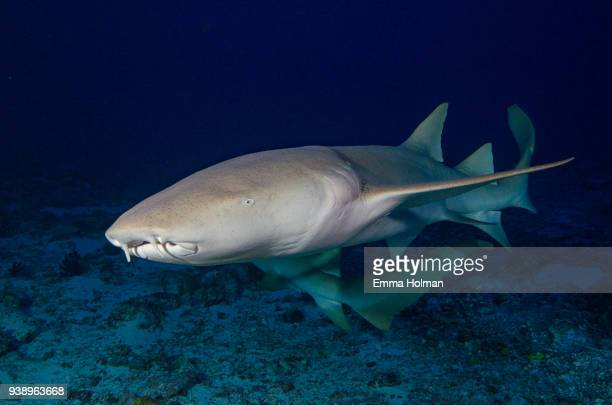 shark at night - nurse shark stock photos and pictures