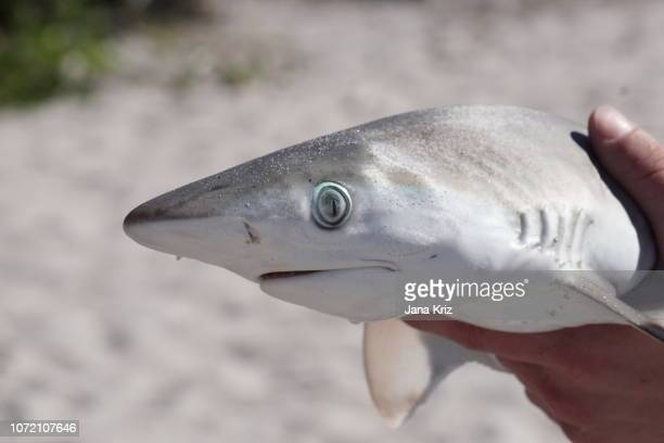 shark baby killed by red tide, washed up on a beach in southwest florida, held in hand - red tide stock pictures, royalty-free photos & images