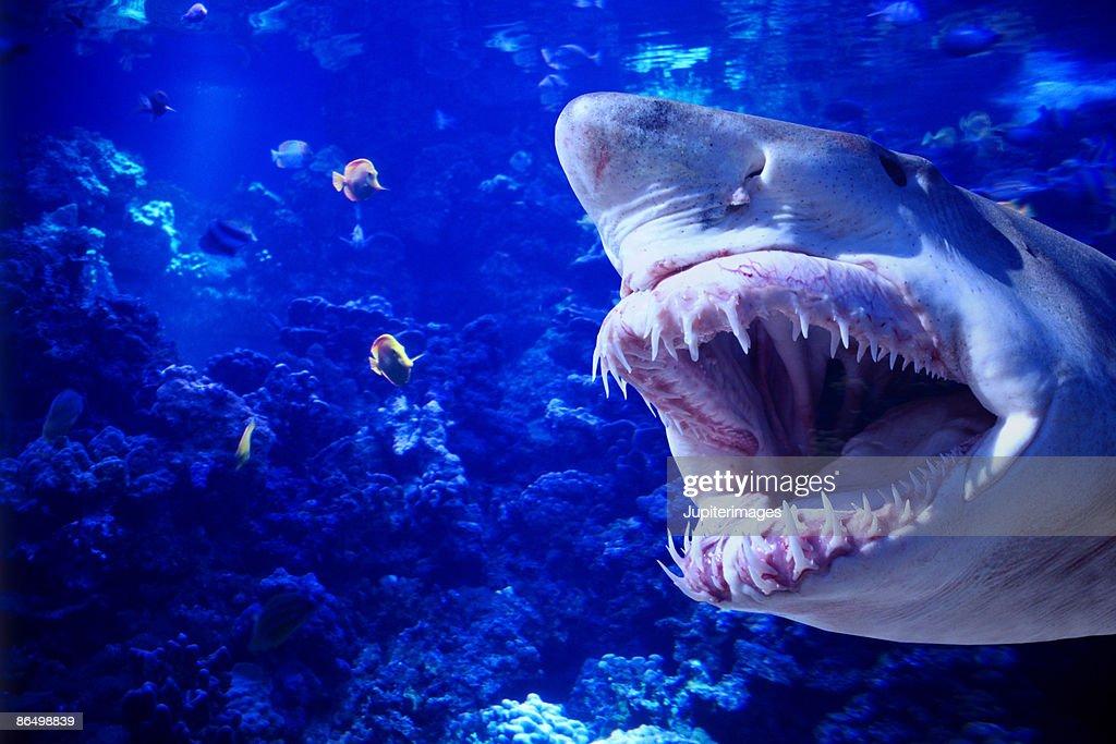 Shark baring its teeth : Stock Photo