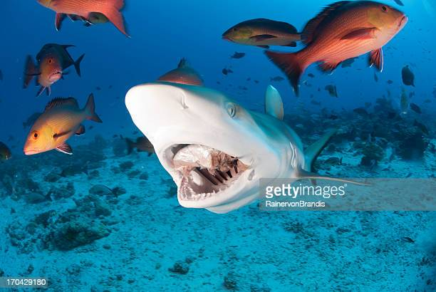 サメのお食事