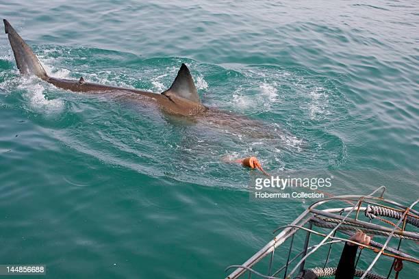 Shark cage diving in Shark Alley, Dyer Island, Gansbaai, Western Cape
