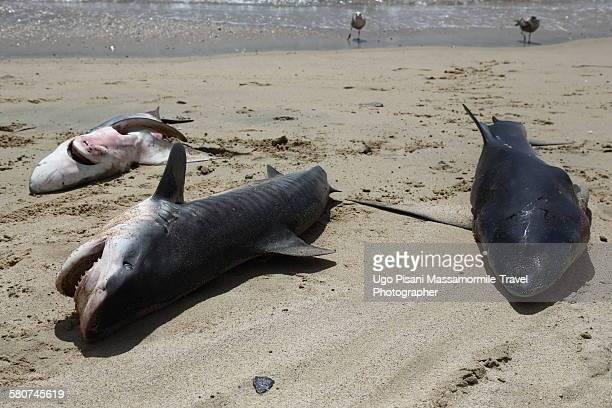shark catch - requin tigre photos et images de collection