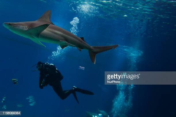 Shark feeding at the Underwater Observatory Marine Park aquarium in the Israeli resort city of Eilat on the shore of the Red Sea On Saturday February...