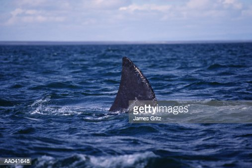 Shark Fin Above Water Stock Photo   Getty Images