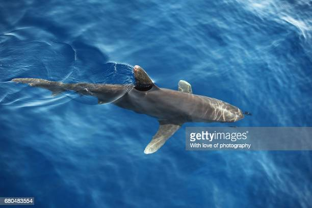 shark fin in water, gray reef shark in water at surface, marine animals in the wild, wild life, dangerous animals, Red sea shark, white tip shark in sea