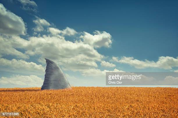 shark fin swimming in agriculture crop field - shark attack - fotografias e filmes do acervo