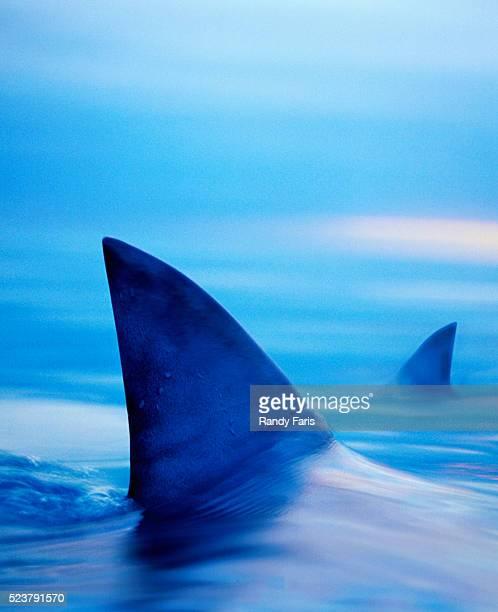 Shark Fins Cutting Surface of Water