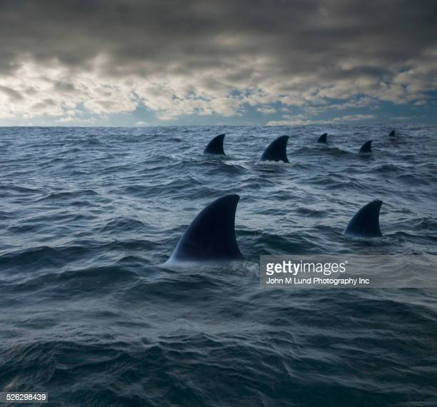 shark fins in ocean - sharks stock pictures, royalty-free photos & images