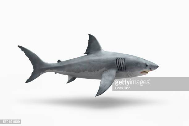 shark floating on white background - sharks stock pictures, royalty-free photos & images