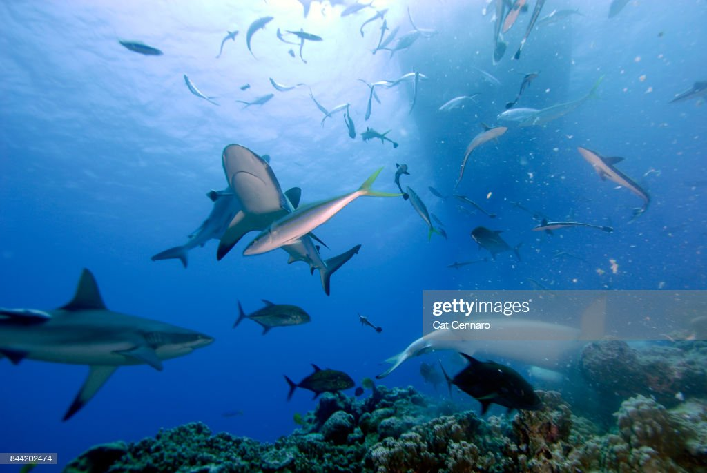 Shark Frenzy Under Boat : Stock Photo