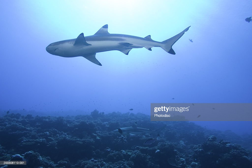 Shark in ocean, low angle view : Stock Photo