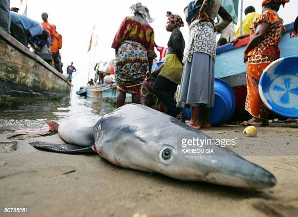 YOUANT A shark is pictured at the fish market in Abobodoume a popular quarter of Abidjan on April 12 2008 The fins of the shark are dried and then...