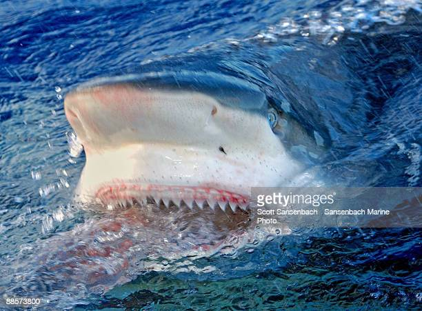 shark jaws - animal mouth stock pictures, royalty-free photos & images