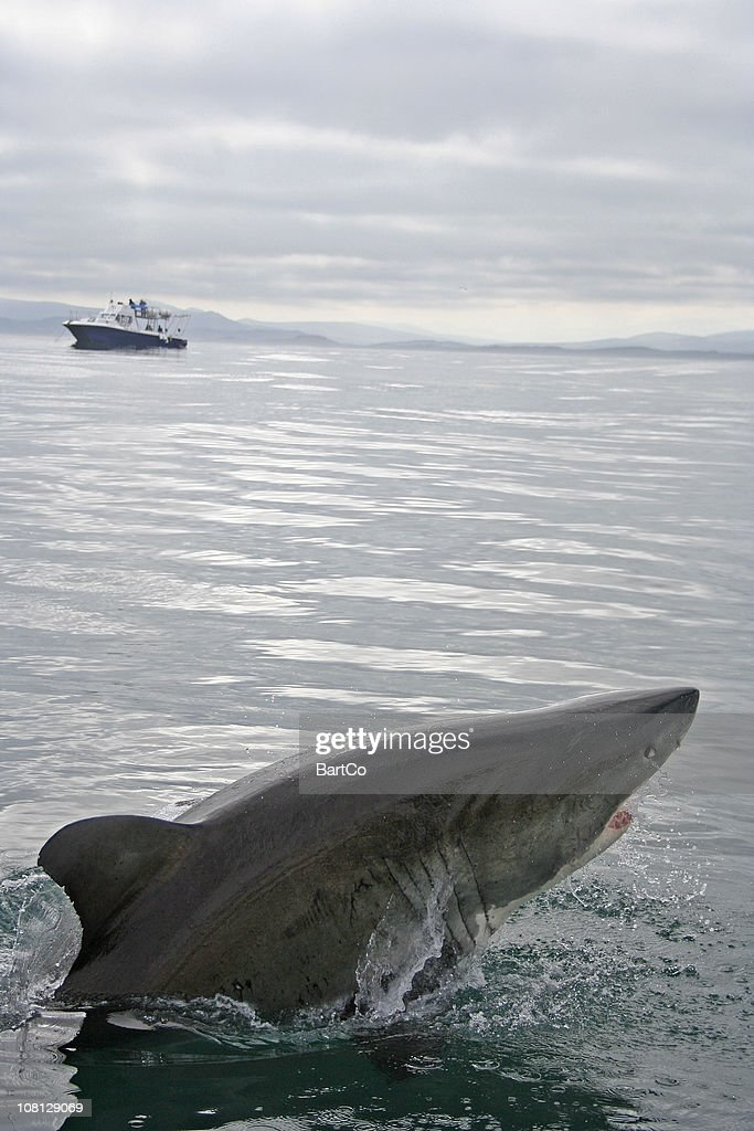 Shark Jumping Out Of Water With Ship In Background Stock Photo