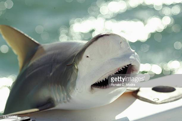 Shark jumps on the side of a boat on May 15 2005 in the Florida Keys