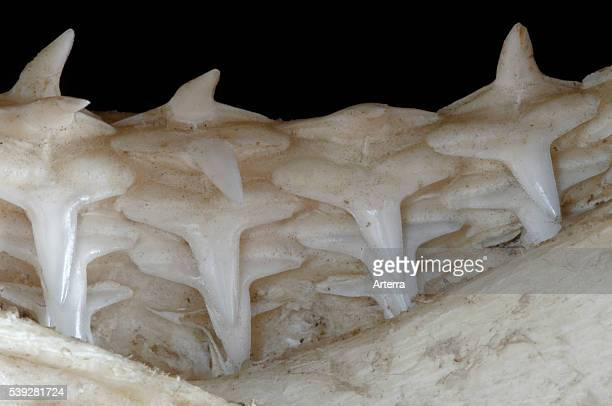 Shark lower jaw showing multiple layers of teeth Madagascar