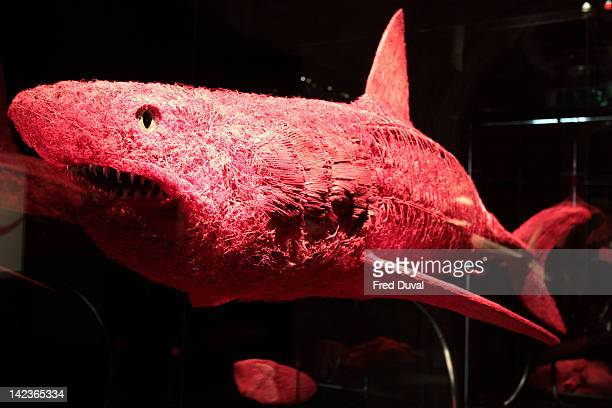A shark on display at the Animal Inside Out exhibition at Natural History Museum on April 3 2012 in London England