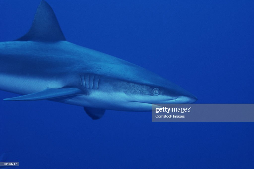 Shark : Stockfoto